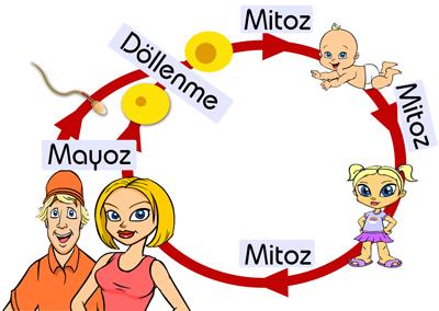 mitoz