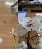 Armut çiçeğinin birden fazla dişi borusu vardir