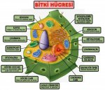 Bitki Hücre Resmi
