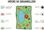 Bitki Hücresi ve Organelleri