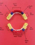 Diş Model Gösterimi