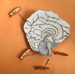 Merkezi sinir sistemi organları modeli yapımı