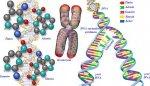 Nükleotid, DNA, Kromozom