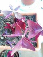 Yeşil olmayan bitkilerde fotosentez yapabilir mi?