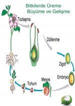 Çiçekli Bitkilerde Üreme Büyüme Döngüsü