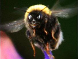 Bir arı gerçekten gülümseyebilir mi