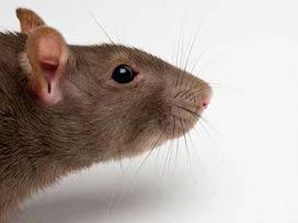 Dişi farede, erkeklik özelikleri (XY Geni) bulundu