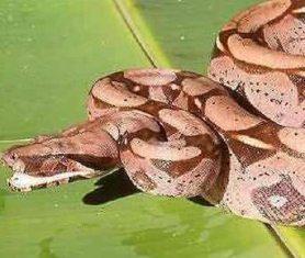 Çiftleşmeden iki kez yavrulayan dişi bir boa yılanı, bilim insanlarını şaşkına çevirdi.