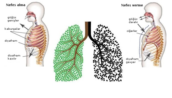 6.s�n�f solunum sistemi �ark�s�