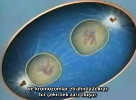 Mitoz bölünme video